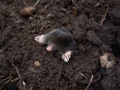A mole poking its head out of a mound of dirt