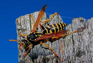 Close up of a European Paper Wasp