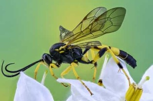 Close Up of a Yellow Jacket Wasp